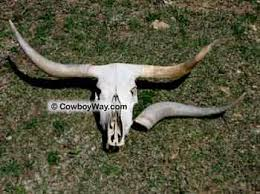 Longhorn Horn Growth Chart What Are Cow Horns