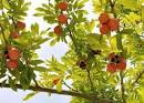 Images & Illustrations of akee tree