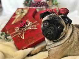 gifts gifts pugs puglife pugsofinsram pug dogs