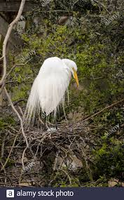 Great egret (Casmerodius albus, Ardea alba, Egretta alba), Smith Oaks  Audubon Rookery, High Island, Texas, USA Stock Photo - Alamy