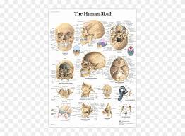 Anatomical Chart Human Skull Detailed Anatomy Of Skull