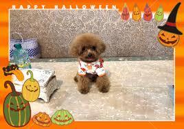 teacup poodle chu is