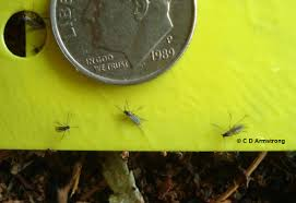 Fungus Gnats Attracted To Light Fungus Gnats Home And Garden Ipm From Cooperative