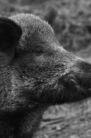 381 Best Schwarzwild Images On Pinterest Wild Boar Animals And Pigs