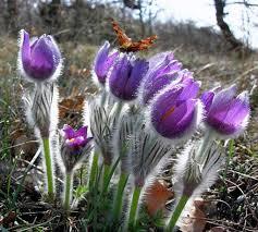 Такой загадочный цветок прострел сон трава Сон трава · Сон трава