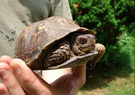 box turtle size mowing tips how to avoid killing eastern box turtles the