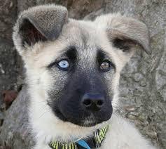 black german shepherd puppies with blue eyes.  Shepherd Can German Shepherds Have Blue Eyes With Black Shepherd Puppies Eyes A