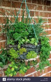 Kitchen Gardening Herbs Various In Hanging Basket Mint Brick Wall Kitchen Stock