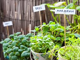 even urban gardeners can start a culinary herb garden in pots in a sunny window or on a deck