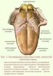 Орган обоняния и вкуса Язык