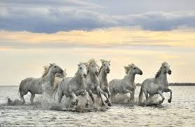 wild white horses running free. Beautiful Horses The Horses Have Been Running Wild In This Area For Years But Belong To  Ranches And Wild White Horses Running Free