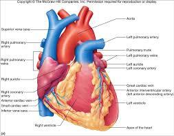 through the human heart human heart acircmiddot circulatory system heart
