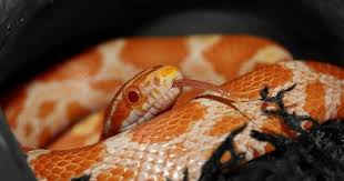 milk snake size corn snakes everything you need to know