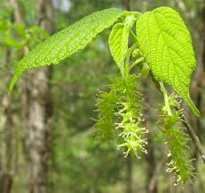 Permaculture Plants Mulberry  Temperate Climate PermacultureMulberry Tree No Fruit