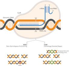 Crispr Cas9 Guide Rna Design Genome Editing With Direct Cas9 Rnp Delivery Design
