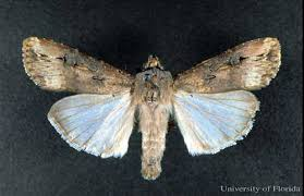 Black Cutworm Agrotis Ipsilon Hufnagel