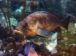 Quillback Rockfish Wikipedia