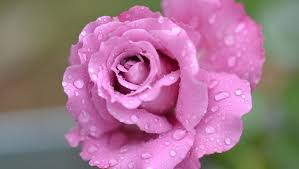 rose flower pink fragrant pink rose beautiful