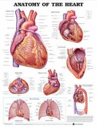 Anatomy Of The Heart Chart Anatomy Of The Heart Anatomical Chart Poster Print Heart
