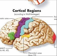 Brain Chart Human Brain Chart Vr1615