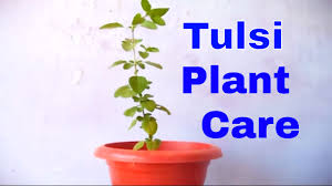 how to grow care holy basil tulsi plant indoor october 2016