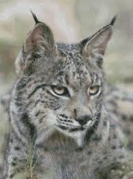 Details About Cross Stitch Chart Pattern Lynx Big Cat Wild