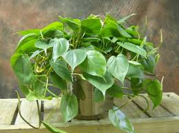 Philodendrons are one of the common houseplants you can grow. There are  several charming varieties, so you can easily find one that suits your  style.