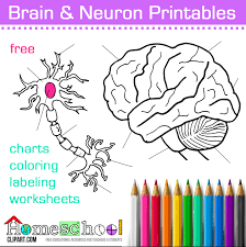 Small Picture Human Brain and Neuron Coloring Pages Labeling Worksheets Charts