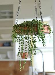 String of Peals Plant: Easy to moderate to care for and anything hanging  will let