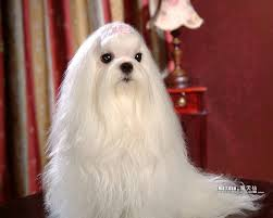 silky dog white. my dogs - maltese puppies wallpapers white puppy with silky hair wallpaper 17 dog g