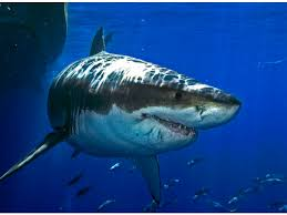 great white shark back in new jersey coastal waters barnegat nj  great white shark back in new jersey coastal waters