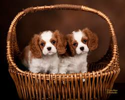 san go cavalier king charles spaniels puppies in vista ca for california breeders