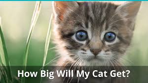 Kitten Size Chart How Big Will My Kitten Get When Is It Fully Grown Plus