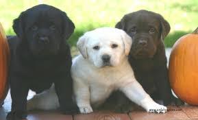 Labrador Color Chart A Lesson In Labrador Coat Color Inheritance Endless