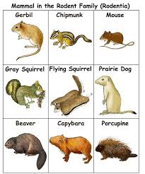 Squirrel Species Chart Rodent Chart Rodents Mammals Animals Pets