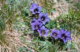 Gentiana acaulis | stemless gentian/RHS Gardening