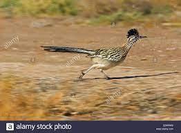 Road-Runner, Roadrunner (Geococcyx ...