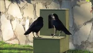 Crow Vending Machine Gorgeous 48 Instances That Show How Technologically Predisposed Crows Are