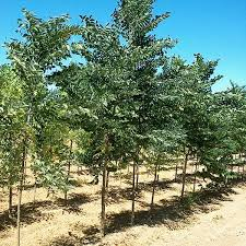 They contain large dark brown seeds, when mature. Decaf Kentucky Coffeetree