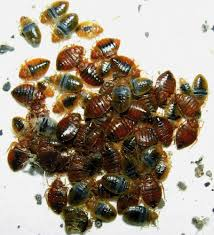 What Temperature Kills Bed Bugs Complete Guide Pestseek