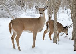 Mule Deer Vs White Tail Deer Differences Similarities