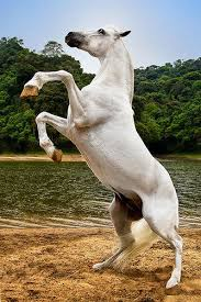 white horse rearing.  Horse Strong White Horse Rearing Up At Rivers Edge Flickr On White Horse Rearing R