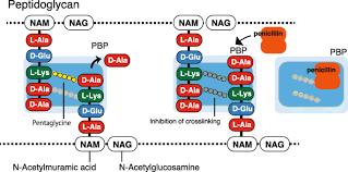 extended spectrum β lactamases
