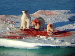 alm polar bear external image murder bears jpg