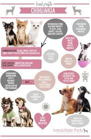 Chihuahua Color Chart Nobody Tell Ruby Shes Considered Sacred By The Aztecs