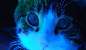Image result for Its urine glows under a black-light: Cat's