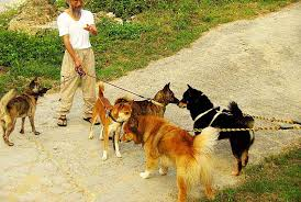 dog fighting essay dog fighting essay reasons why pit bulls are  ryukyu life dog photo essay ryukyu inu and husky mutts meet at dog photo essay ryukyu dog fighting essay