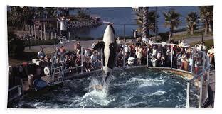 original shamu. Delighful Shamu Original Beach Towel Featuring The Photograph The Shamu Orca Sea  World San Diego 1967 By For