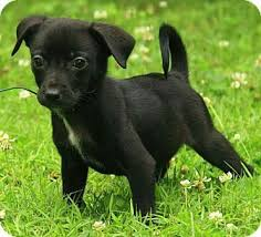 jack russell terrier mix black. Beautiful Mix Black Jack Russell Terrier Chihuahua Mix Jack Russell Chihuahua Mix  Mix Puppies With Terrier L