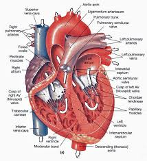 heart anatomy frontal section